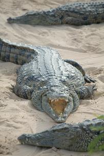 Open mouthed crocodiles on wildlife park beach, Djerba, Tunisiaの写真素材 [FYI03806655]