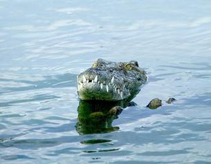 Head of crocodile in wildlife park lagoon, Djerba, Tunisiaの写真素材 [FYI03806656]