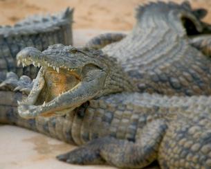 Open mouthed crocodiles on wildlife park beach, Djerba, Tunisiaの写真素材 [FYI03806658]