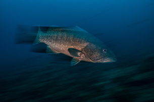 Grouper fish, long exposure, Puntarenas, Costa Ricaの写真素材 [FYI03807052]