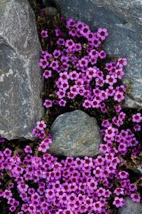 Purple Saxifrage (Saxifraga oppositifolia) in flower, overhead close up, Isbjornhamna, Hornsund bay,の写真素材 [FYI03807380]