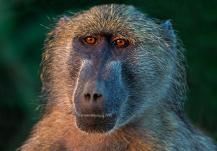 Chacma baboon, head and shoulder portrait, Kruger National park, South Africaの写真素材 [FYI03807588]