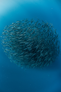 Mackerel baitballs underwater, Punta Baja, Baja California, Mexicoの写真素材 [FYI03807687]