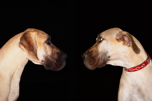 Two Brazilian mastiffs (Fila brasileiro) sitting face to fの写真素材 [FYI03807770]
