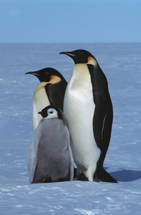 Antarctica Weddel Sea Atka Bay Emperor Penguin Familyの写真素材 [FYI03807808]