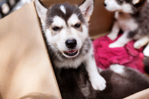 Close-up of Siberian Husky puppies in doghouseの写真素材 [FYI03808891]