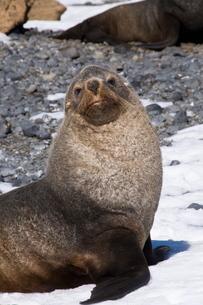 Fur seals at Brown Bluff, Antarctic Peninsula, Antarcticaの写真素材 [FYI03811033]