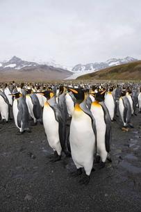 King penguins, St. Andrews Bay, South Georgia, South Atlanticの写真素材 [FYI03811044]
