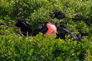 World's largest colony of Frigate Birds (Fregata magnificens) in the lagoon, Barbuda, Antigua and Baの写真素材 [FYI03811074]