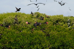 World's largest colony of Frigate Birds (Fregata magnificens) in the lagoon, Barbuda, Antigua and Baの写真素材 [FYI03811078]