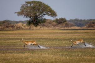 Puku (Kobus vardonii), Busanga Plains, Kafue National Park, Zambiaの写真素材 [FYI03811236]