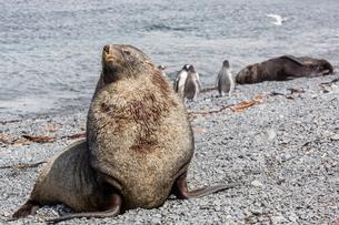 Antarctic fur seal (Arctocephalus gazella) adult bull, Prion Island, South Georgia Overseas Protectoの写真素材 [FYI03811393]