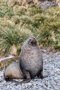 Antarctic fur seal (Arctocephalus gazella) male defending territory, Stromness Harbor, South Georgiaの写真素材 [FYI03811403]