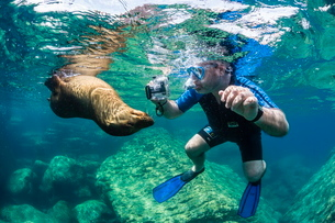 Curious young California sea lion (Zalophus californianus) with snorkeler underwater at Los Islotes,の写真素材 [FYI03811422]