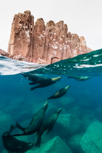 California sea lions (Zalophus californianus) underwater at Los Islotes, Baja California Sur, Mexicoの写真素材 [FYI03811425]