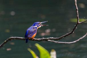An adult azure kingfisher (Alcedo azurea) swallowing a fish on the Daintree River, Daintree rain Forの写真素材 [FYI03811429]