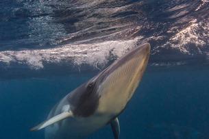 Curious adult dwarf minke whale (Balaenoptera acutorostrata), underwater near Ribbon 10 Reef, Greatの写真素材 [FYI03811435]