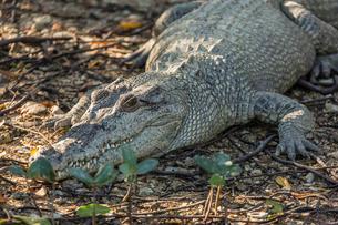 Wild saltwater crocodile (Crocodylus porosus) on the banks of the Hunter River, Mitchell River Natioの写真素材 [FYI03811446]
