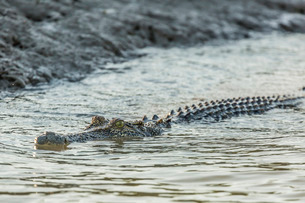 An adult wild saltwater crocodile (Crocodylus porosus) in the Hunter River in Mitchell River Nationaの写真素材 [FYI03811456]