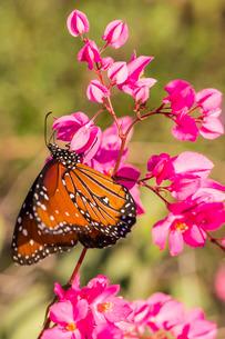 Queen butterfly (Danaus gilippus) on queen's wreath (Antigonon leptopus), Himalaya Beach, Sonora, Meの写真素材 [FYI03811458]