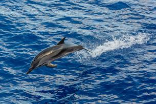 Adult striped dolphin (Stenella coeruleoalba) leaping near La Gomera, Canary Islands, Atlanticの写真素材 [FYI03811472]
