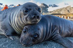 Southern elephant seal pups (Mirounga leonina), Gold Harbor, South Georgiaの写真素材 [FYI03811481]