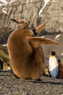 King penguin chick (Aptenodytes patagonicus), ecstatic display in Gold Harbor, South Georgiaの写真素材 [FYI03811482]