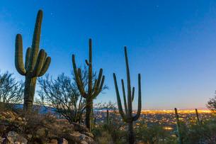 Giant saguaro cactus (Carnegiea gigantea), under stars in the pre-dawn light, Santa Catalina Mountaiの写真素材 [FYI03811490]