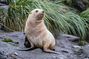 A young leucistic Antarctic fur seal (Arctocephalus gazella), blond due to lack of melanin, Cooper Bの写真素材 [FYI03811494]