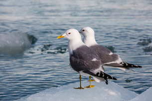 Adult mew gulls (Larus canus) on ice in Tracy Arm-Fords Terror Wilderness Areaの写真素材 [FYI03811508]