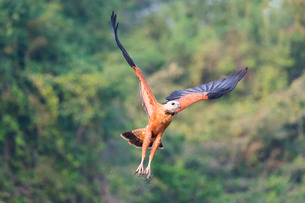Black-collared hawk (Busarellus nigricollis) in flight, Pantanal, Mato Grosso, Brazilの写真素材 [FYI03811531]