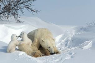 Polar bear (Ursus maritimus) mother with twin cubs, Wapusk National Park, Churchill, Hudson Bay, Manの写真素材 [FYI03811628]