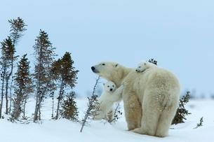 Polar bear (Ursus maritimus) mother with twin cubs, Wapusk National Park, Churchill, Hudson Bay, Manの写真素材 [FYI03811630]