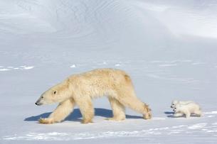 Polar bear (Ursus maritimus) mother with twin cubs, Wapusk National Park, Churchill, Hudson Bay, Manの写真素材 [FYI03811631]