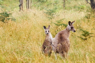 Eastern grey kangaroos, Geehi, Kosciuszko National Park, New South Walesの写真素材 [FYI03811686]