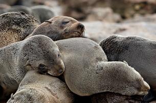 Cluster of Cape fur seal (South African fur seal) (Arctocephalus pusillus), Elands Bay, Western Capeの写真素材 [FYI03811753]