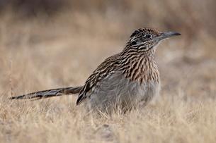 Greater Roadrunner (Geococcyx californianus), Bosque Del Apache National Wildlife Refuge, New Mexicoの写真素材 [FYI03811767]