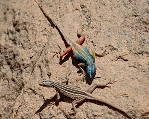 Male and female Augrabies flat lizard (Platysaurus broadleyi), Augrabies Falls National Parkの写真素材 [FYI03811768]