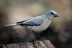 Mexican jay (Aphelocoma ultramarina), Chiricahuas, Coronado National Forest, Arizona'の写真素材 [FYI03811804]