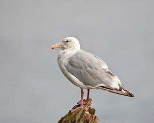 Thayer's gull (Larus thayeri), Kenai National Wildlife Refuge, Alaska'の写真素材 [FYI03811816]