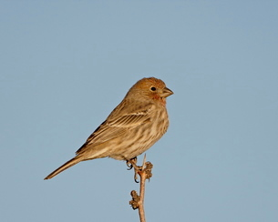 House finch (Carpodacus mexicanus), City of Rocks State Park, New Mexico'の写真素材 [FYI03811821]