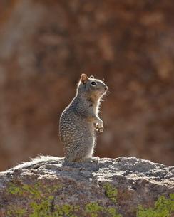 Rock squirrel (Spermophilus variegatus), City of Rocks State Park, New Mexico'の写真素材 [FYI03811823]