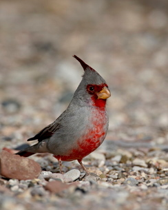 Male Pyrrhuloxia (Cardinalis sinuatus), Caballo Lake State Park, New Mexico'の写真素材 [FYI03811825]