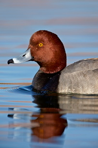Redhead (Aythya americana) swimming, Clark County, Nevada'の写真素材 [FYI03811834]