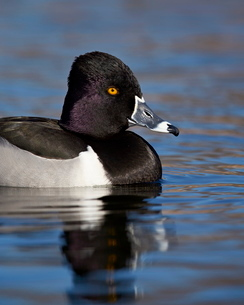 Ring-necked duck (Aythya collaris) swimming, Clark County, Nevada'の写真素材 [FYI03811837]