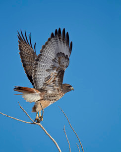 Red-tailed hawk (Buteo jamaicensis) taking off, Bosque del Apache National Wildlife Refuge, New Mexiの写真素材 [FYI03811848]