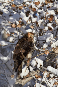 Red-tailed hawk (Buteo jamaicensis) juvenile in a snow-covered tree, Bosque del Apache National Wildの写真素材 [FYI03811849]