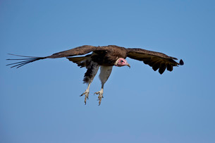 Hooded vulture (Necrosyrtes monachus) in flight on approach to landing, Ngorongoro Conservation Areaの写真素材 [FYI03811850]