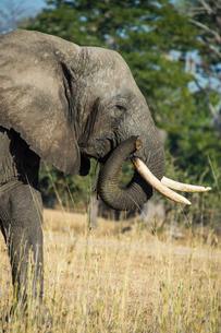 African bush elephant (Loxodonta africana), Liwonde National Park, Malawiの写真素材 [FYI03811906]