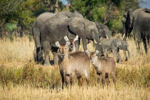 Waterbucks (Kobus ellipsiprymnus) and African bush elephants (Loxodonta africana), Liwonde Nationalの写真素材 [FYI03811928]